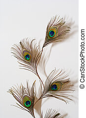 Peacock feather on a white backgound