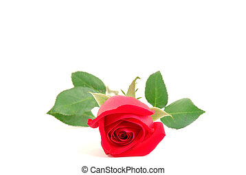 Red Rose - Stem Red rose Isolated on withe background .