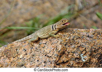 Collared Lizard - A collared lizard sitting on a chunk of...