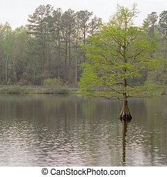 Cypress Tree - Lone cypress tree growing in Trap Pond in...
