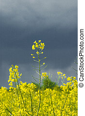 rape - landscape white yellow rape and blue sky