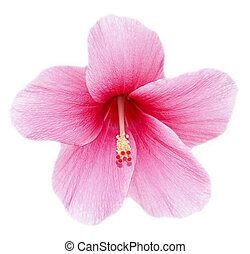 Hibiscus flower - fully developed hibiscus flower against...
