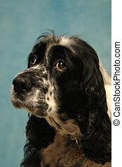 Sad sweet dog - Sad and sweet dog posing on blue background.