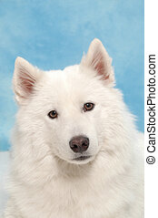 White dog taken in studio.