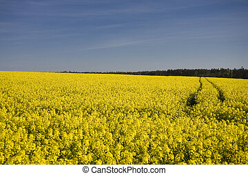 rape - landscape yellow rape and blue sky