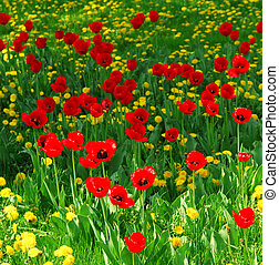 Flower field - Red tulips and yellow dandelions blooming in...
