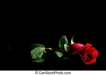 Red Rose on Black - Single Red Rose on a dark place.