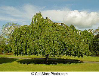 Weeping Willow - Large old weeping willow tree