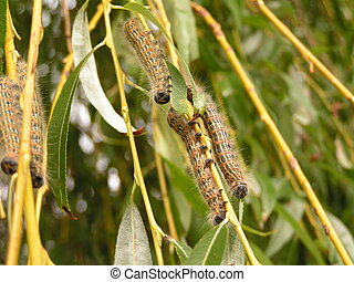 Caterpillars eating down a willow tree branch