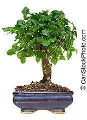 Bonsai tree - Isolated green bonsai tree in pot