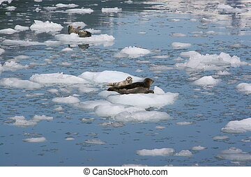 Seals on ice sheet - Group of seals on sheet of ice in the...