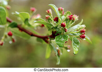 Malus - Crabapple bl - Just budding crabapple tree blossoms...