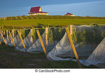 Vineyard with vines covered with bird-protective net and...