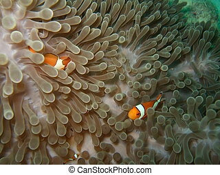 Anemone and Nemoish. Andaman sea. Similan islands.
