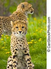 Eye contact - cheetah cubs