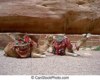 camels - two camels laying down in Petra, Jordan, Middle...