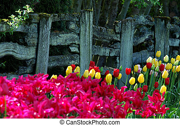 Tulip blossom by the old fence - Country view of Holland...