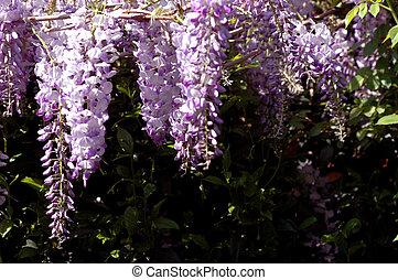 Wisteria - wisteria