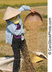 Working on the ricefield - Woman preparing the rice throwing...