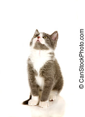 Cute kitten - Adorable grey kitten looking up sitting on...