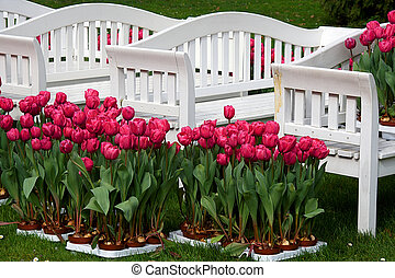 Tulips with seats - Tulips seat photographed in palms garden...