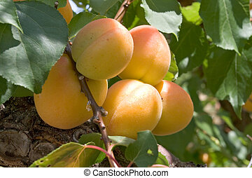 Peaches hang on a stem
