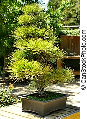Japanese Umbrella Pine - Umbrella Pine located at Japanese...