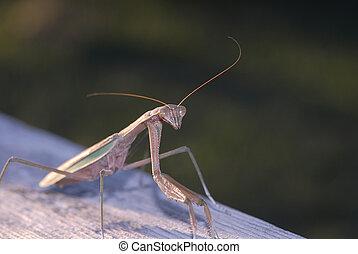 Praying Mantis - A praying mantis stands ready for passing...