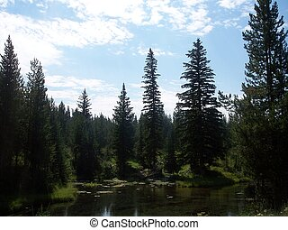 Pine Trees in Idaho - Tall pine trees located near a stream...