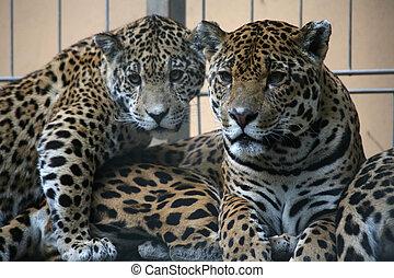 Jaguar - Wildcats in a german zoo