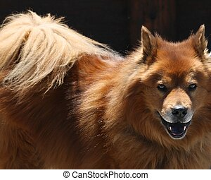 Chow-chow Dog - A large chow dog, looking directly at the...