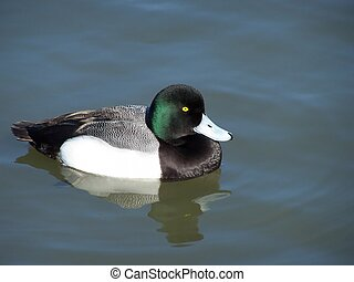 Greater Scaup Duck (Aythya Marila) - Greater scaup duck just...