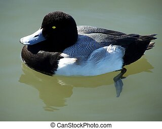 Floating Greater Scaup Duck - Greater scaup duck floating in...