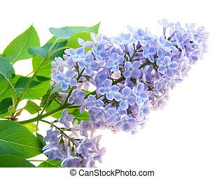 Lilla immagini e archivi lilla immagini - Serenelle fiori ...