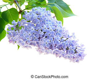 lilac flower - Close-up of purple lilac flower on white...