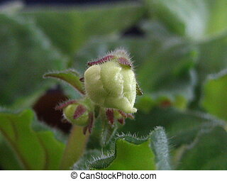Flower Bud - Close up of a green flower bud getting ready to...