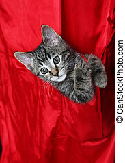Red Silk Tabby - Small tabby kitten in the pocket of a red...