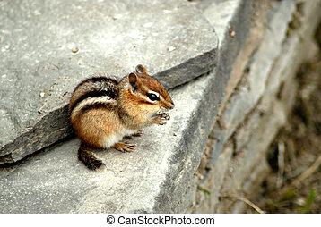 Chipmunk Feeding - A cute little chipmunk sits on a rock...