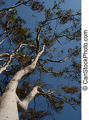 GumTree against clear blu - Upward view of a gum tree\\\'s...