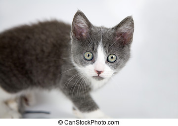 Curious kitten - Kitten leaning curiously forward looking...
