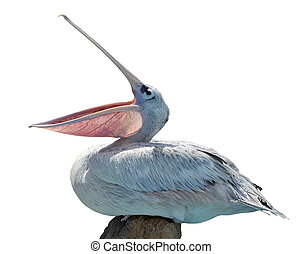 Isolated pelican of profile with open beak
