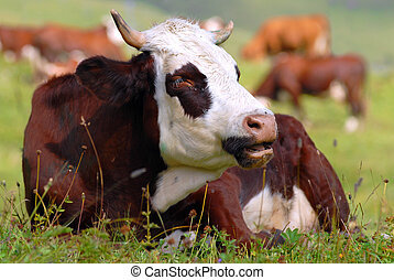 Cow in a prairie - Lengthened cow in a prairie