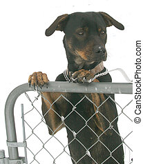 The Watcher - Doberman cross-bred puppy hooks her paws over...