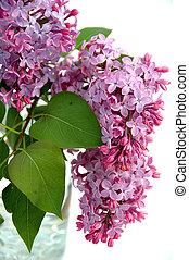 lilacs - Lilacs