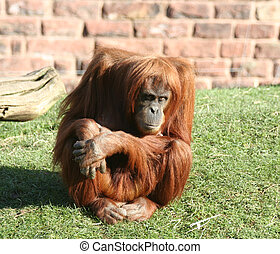 Orang utan - An Orang Utan sitting and looking at the camera
