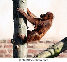 Orang in tree - A young orang utan climbing into a tree