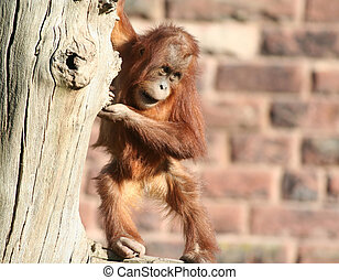 Baby orang - A baby orang playing in a tree