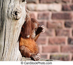 Baby sitting - A baby orang utan sitting in a tree