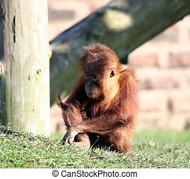 Baby orang - A very young baby orang utan playing on the...