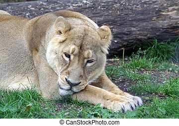 Lioness - A lioness resting in the grass